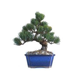 acheter un pin parasol acheter un bonsai pinus pentaphylla pin blanc du japon 27 cm 140303 chez sankaly bonsa 239 magasin