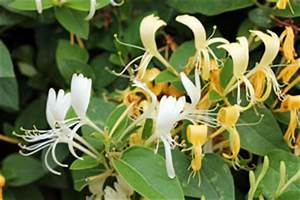 Immergrüne Kletterpflanze Winterhart : kletterpflanzen ratgeber ~ Yasmunasinghe.com Haus und Dekorationen