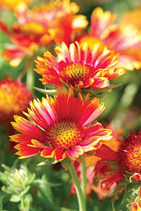 Top Perennials For Your Garden Better Homes Gardens