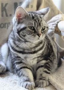 Lovely Silver Tabby | British Shorthair Cats 1 | Pinterest ...