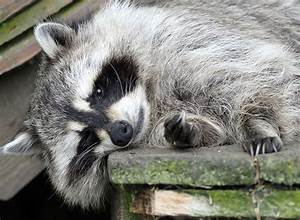 23 moments that prove 2015 was the year of raccoons ...