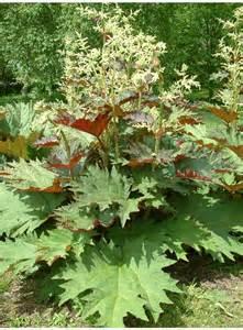 flowers free delivery rheum palmatum tanguticum the beth chatto gardens