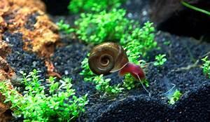 Wie Bekämpfe Ich Schnecken Im Garten : was tun gegen die schneckenplage im aquarium wie richte ich mein ~ Markanthonyermac.com Haus und Dekorationen