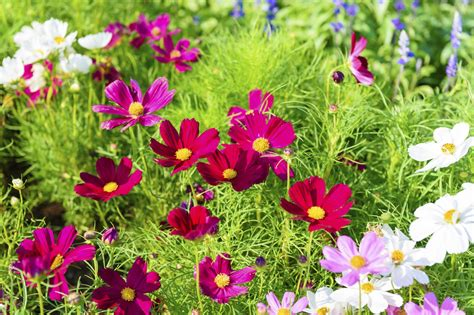 cosmos flower colors different varieties of cosmos flowers