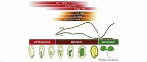 Lecs Go Crazy In Embryo Development  Trends In Plant Science
