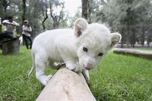 Rare White Lion Cub Debut » GagDaily News