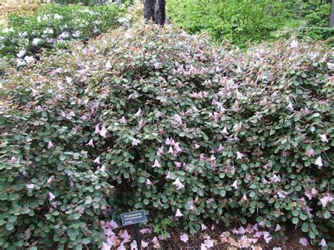 rhododendron federal way plantfiles pictures rhododendron species dwarf rhododendron rhododendron williamsianum by