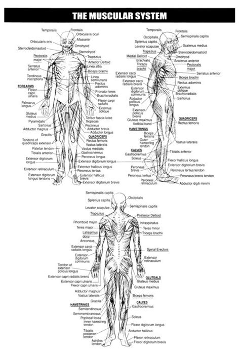 muscles muscular system skeletal system and printable worksheets