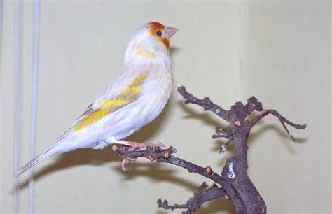 Accoppiamento Cardellini In Gabbia Ibridi Cardellino Canarina Clasf Birds Canary Birds Birds E