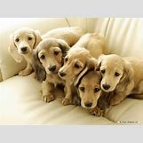 White German Shepherd Lab Mix Puppies   1024 x 768 jpeg 132kB