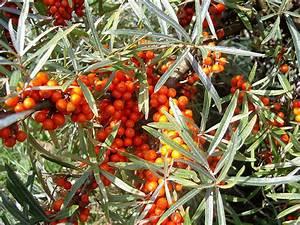 Sanddorn Pflanzen Kaufen : der gemeine sanddorn auf sylt ist foto bild pflanzen pilze flechten fr chte und ~ Eleganceandgraceweddings.com Haus und Dekorationen