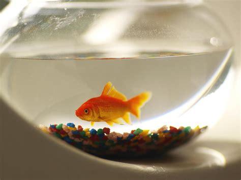 aquarium bocal poisson aquarium boule caract 233 ristiques inconv 233 nients ooreka