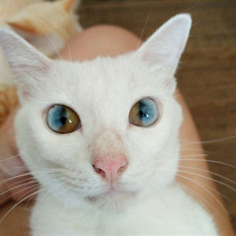 eyes cat cats different colors heterochromia colored through eye sectoral change golden colorful multi each