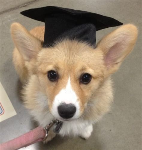 dogs graduation day images  pinterest