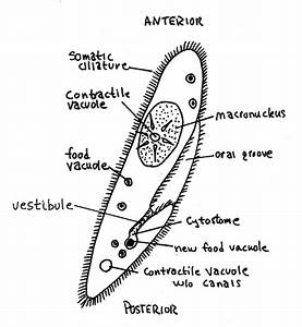 STRUCTURE AND FUNCTION vacuole