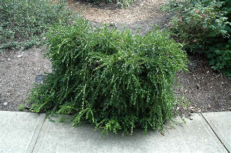 Unraveled Boxwood (Buxus sempervirens 'Unraveled') in