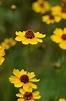 Using Georgia Native Plants: Coreopsis in the Garden