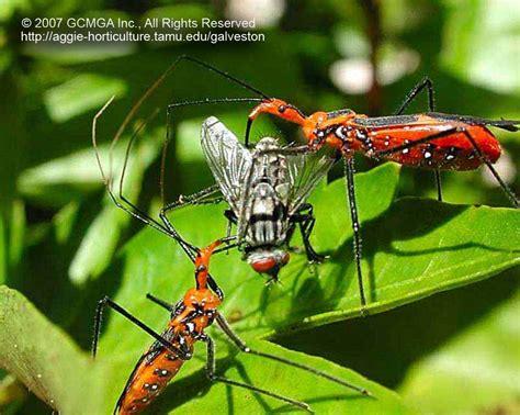 Garden Bug by Beneficials In The Garden Landscape Bug Vs Bad
