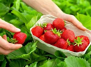 Erdbeeren Richtig Pflanzen : erdbeeren pflanzen erdbeeren pflanzen with erdbeeren ~ Lizthompson.info Haus und Dekorationen