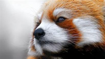 Panda Face Wallpapers Pandas Animal Bhmpics Tier