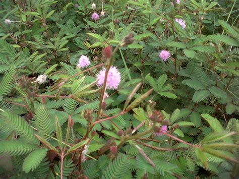 jual pohon putri malu hidup tanah mimosa pudica