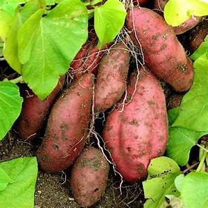 Patate Douce Plante : plants patate douce planter cultiver et r colter des ~ Dode.kayakingforconservation.com Idées de Décoration