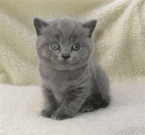 gccf reg british shorthair kittens manchester