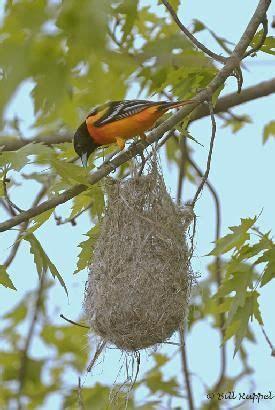 baltimore oriole at nest bird feather nest pinterest