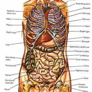 Female Human Body Organs Diagram