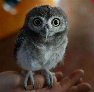 Baby Arctic Owl Ridiculously Adorable Baby Owls Whxqt ...