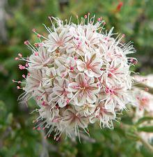 buckwheats  central valley gardens