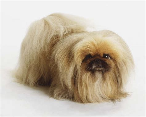cute dogs cute pekingese dog