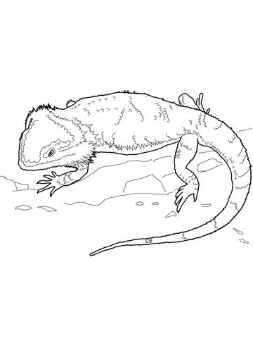 bearded dragon coloring page supercoloringcom