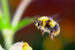 Canadian researchers warn of 'cascading impacts' as bumblebee species decline…