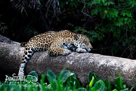 pantanal jaguar tours jaguars almost every day up