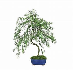 Japanese Weeping Willow Care