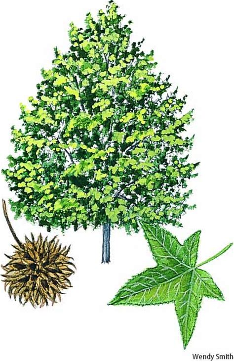 sweet gum tree sweet gum dictionary definition sweet gum defined