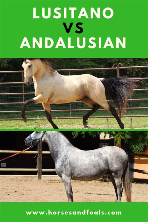 horse andalusian lusitano vs horses differences lot