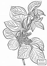 Ivy Poison Coloring Leaves Pages Drawing Plant Toxicodendron Rhus Flowers Leaf Printable Template Getdrawings Common Sketch Print sketch template