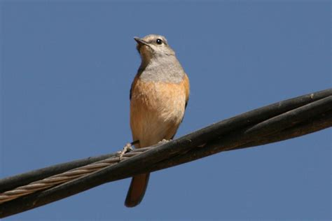 Birds Of The World Muscicapidae
