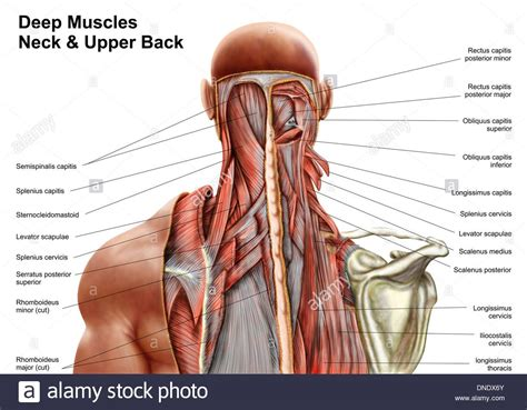 Human And Neck Diagram by Shoulder Muscles Anatomy Diagram Shoulder Muscles