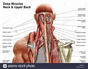 Shoulder Muscles Anatomy Diagram