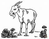 Goat Coloring Pages Billy Pygmy Printable Garden Goats Drawing Simulator Popular Clipart sketch template
