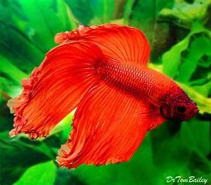 Red Betta Fish | Car Interior Design