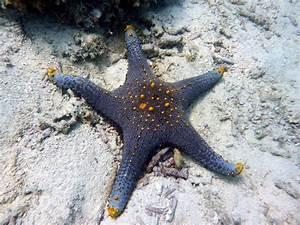 Etoile De Mer Dofus : l 39 etoile de mer bleue pentaceraster alveolatus sous la mer de kembali aux philippines ~ Medecine-chirurgie-esthetiques.com Avis de Voitures