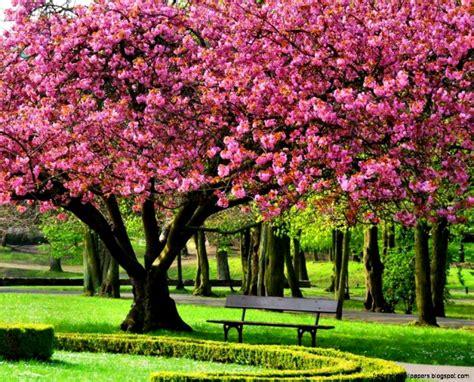 cherry blossom tree l wallpaper desktop pink cherry blossom tree 1920 x 1080 268