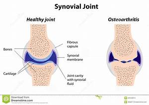 Synovial Joint Structure Stock Vector  Illustration Of