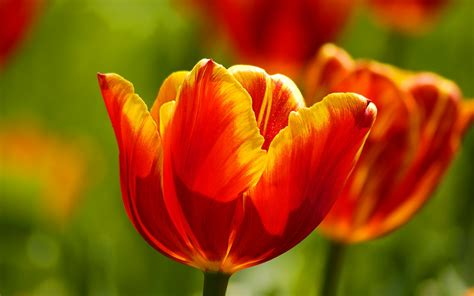 Tulip Picture Hd by Beautiful Tulips Wallpapers Hd Wallpapers Id 9821