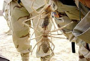 Giant Camel Spider-Real Giant Bugs
