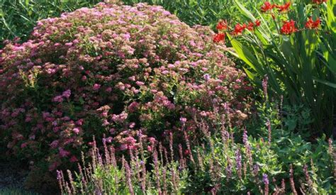 drought tolerant shrubs 17 best images about drought tolerant plants on pinterest gardens drought tolerant shrubs and